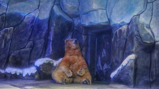 融晟极地海洋世界的北极熊 莫果蕾/摄
