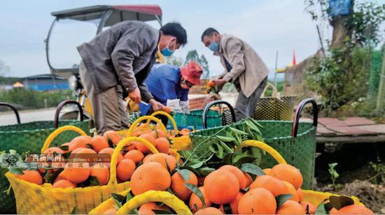 南宁市武鸣区是全国著名的沃柑种植基地,眼下,这里的沃柑开始陆续成熟并采收,除满足本地市场外,还销往全国各地市场。记者 周 军 摄