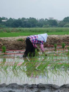 海水稻激活北海千亩良田