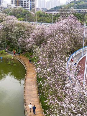 柳州:洋紫荆盛开 城市成花海