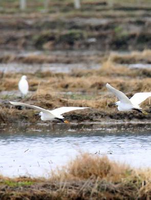 广西柳州:生态美 白鹭飞