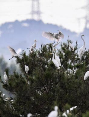 桂林:绿水青山鹭鸟来