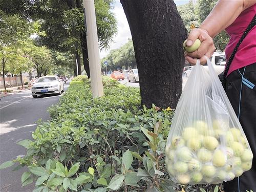 有市民在北湖路绿化带捡拾掉落的扁桃
