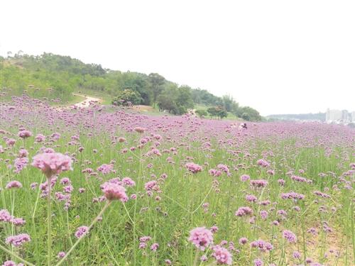 在龟山滨江公园,紫色的马鞭草花海如梦似幻,浪漫迷人