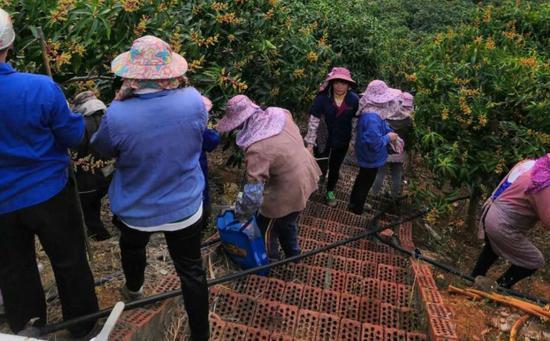 果农最近都忙着山上摘除花序。受访者供图