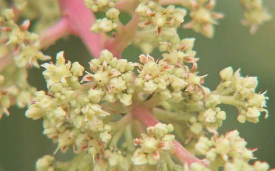 芒果花序。受访者供图