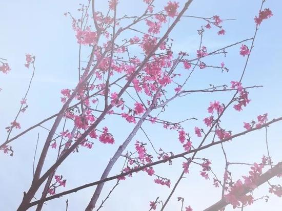 """三生三世 在这里许你""""十里樱花""""!南宁青秀山约起"""