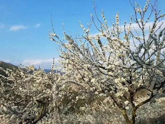 广西这座森林小城千亩梨花绽放 花开成海(图)