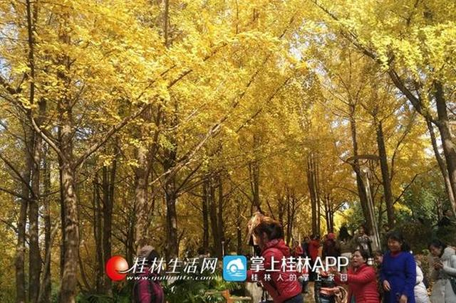 银杏染初冬!这抹绝美金色惊艳了整个桂林街头