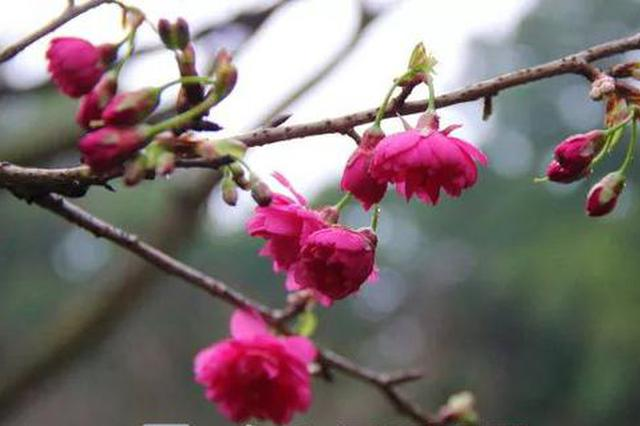 柳州春节天气来啦!最高27℃ 这些地方还有樱花看