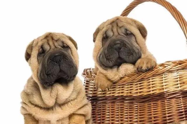 狗年里小宠物狗受追捧!但是想养狗的你可得注意了