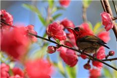 桃红又见一年春 探寻广西十里桃林