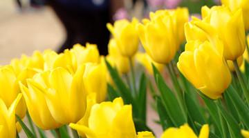 南宁:万紫千红迎春来 青山赏花正当时