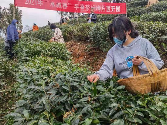 """2021年""""水城春""""早春茶开采了"""