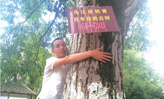 播州区乌江镇长着上千株古核桃树 至今仍挂果