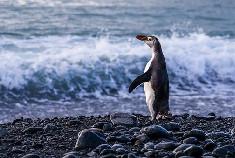 企鹅家族神秘成员