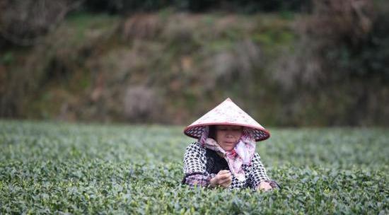 中国茶园种植面积第一省贵州 茶叶出口大增