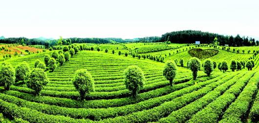 走,去贵州喝干净茶!