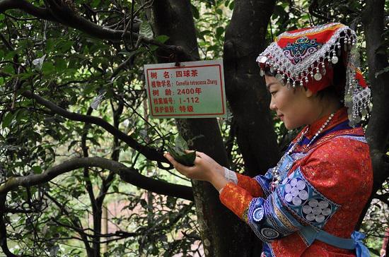 贵州古茶树