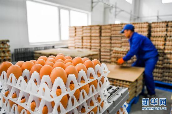 内蒙古乌兰察布市卓资县十八台镇村民在当地金鸡产业园区厂房内分拣鸡蛋(2020年3月26日摄)。新华社记者 连振 摄