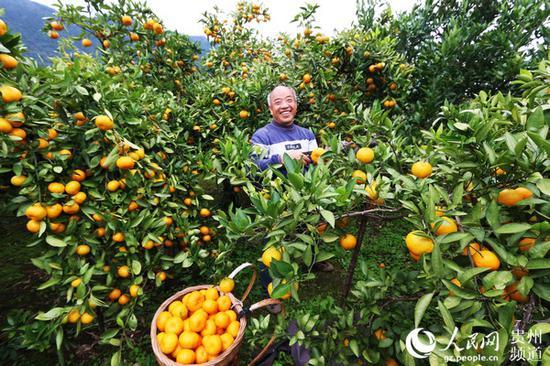 印江朗溪镇村民采摘柑橘。左禹华 摄