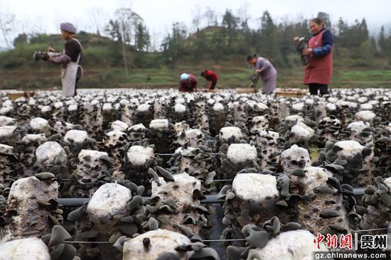 贵州思南黑木耳种植助农增收。瞿宏伦 摄