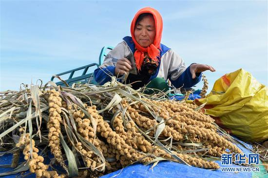 内蒙古赤峰市敖汉旗四家子镇南大城村村民在收获小米(2019年9月19日摄)。新华社记者 刘磊 摄