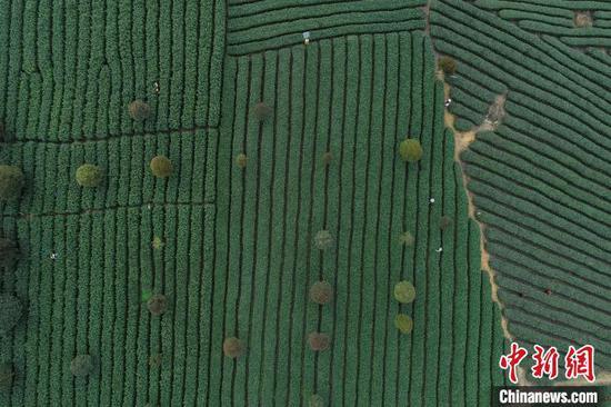 2019年贵州茶园面积达700万亩。资料图 瞿宏伦 摄