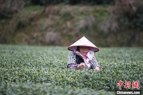 贵州农户采摘茶叶。资料图 瞿宏伦 摄