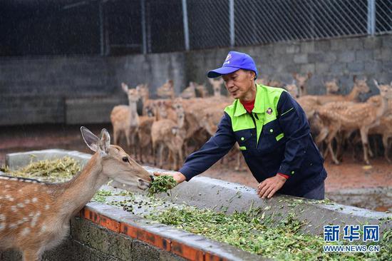 9月11日,在贵州省绥阳县青杠塘镇梅花鹿养殖场,一名工人在给梅花鹿投食。新华社记者 杨楹 摄