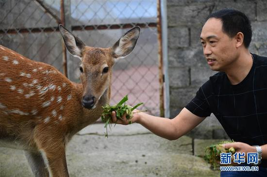 9月11日,在贵州省绥阳县青杠塘镇梅花鹿养殖场,赵伟在给梅花鹿喂食。新华社记者 杨楹 摄