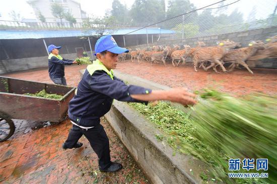9月11日,在贵州省绥阳县青杠塘镇梅花鹿养殖场,工人在给梅花鹿投食。新华社记者 杨楹 摄