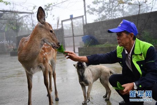 9月11日,在贵州省绥阳县青杠塘镇梅花鹿养殖场,工人在给梅花鹿喂食。新华社记者 杨楹 摄