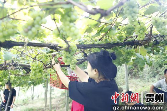游客正在采摘葡萄。陈亮 摄