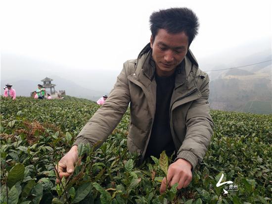 金正华在查看茶芽的长势
