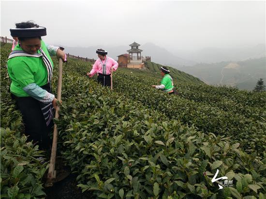 鸟王村苗族同胞在打理茶园