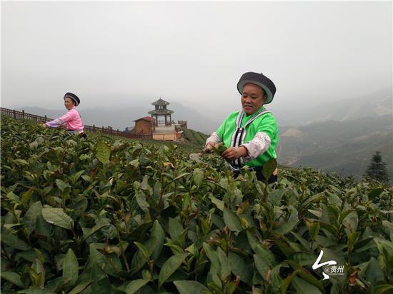 鸟王村村民在将茶叶进行打平顶