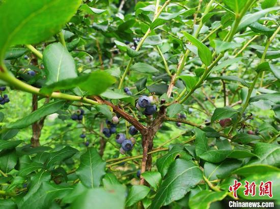贵州省安顺市紫云苗族布依族自治县浪风关国有林场种植的蓝莓。 刘美伶 摄