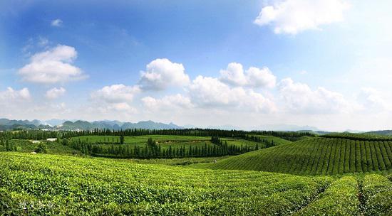遵义茶业(卢祖文 摄)
