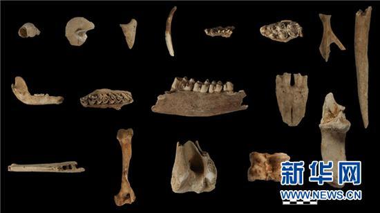 招果洞遗址出土的动物骨骼。(贵州省文物考古研究所供图)