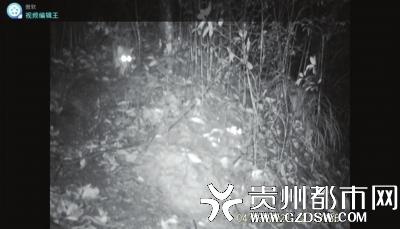 習水保護區監測點紅外線攝像機清晰地拍攝到一只豹貓。視頻截圖