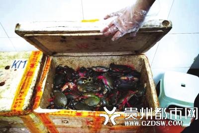 检查待使用的螃蟹
