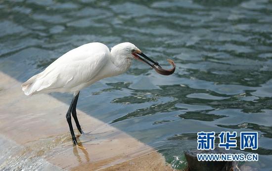 7月10日,一只白鹭在南明河上捕食。新华网 卢志佳 摄