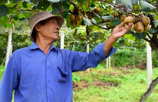 贵州惠水:红心猕猴桃进入采摘季
