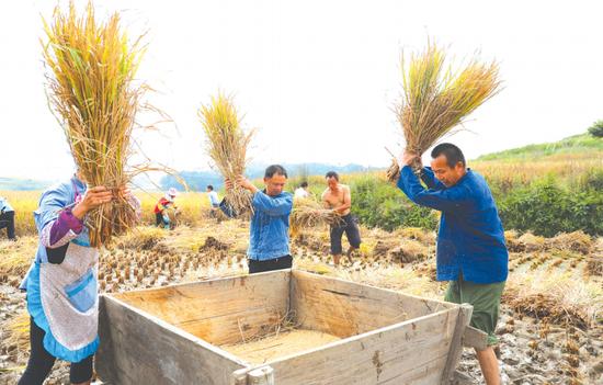 雅水水稻丰收,村民们忙着打谷子,田间地头一派繁忙的景象。