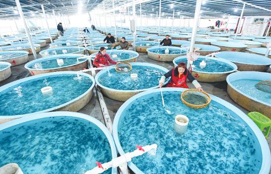 工人在凯德小龙塘冷水鱼养殖场分拣鲟鱼鱼苗。 贵州日报记者陈慧 摄