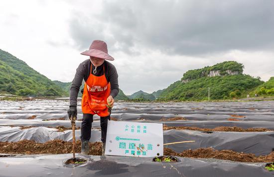 贵州黔西:发展辣椒产业 助力乡村振兴