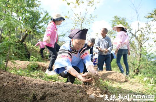 群众在兴义市洒金街道林下食用菌种植基地播种。