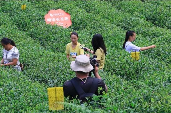 东森电视台拍摄采茶记录片
