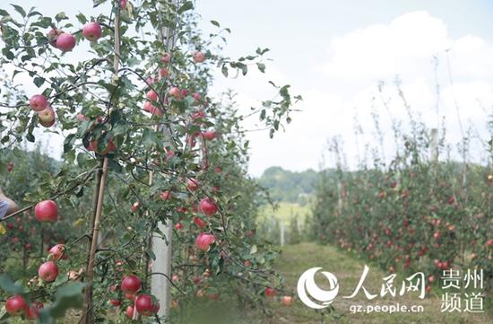 8月,官仓万亩苹果园苹果熟了。李宇摄